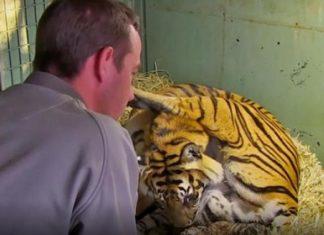La maman met au monde un bébé tigre, mais ce qu'ils voient ensuite entre ses jambes?! Je suis sans mot! │ MiniBuzz