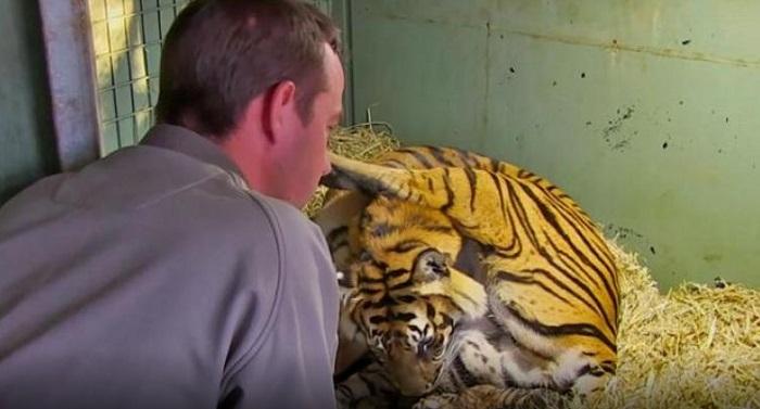 La maman met au monde un bébé tigre, mais ce qu'ils voient ensuite entre ses jambes?! Je suis sans mot!