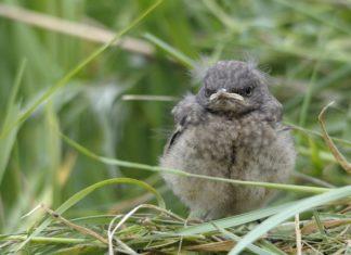 Ne ramassons plus les oisillons tombés du nid. Voici pourquoi !
