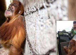 Un bébé orang outan enchainé à un mur pendant un an afin de divertir les gens qui l'ont capturé