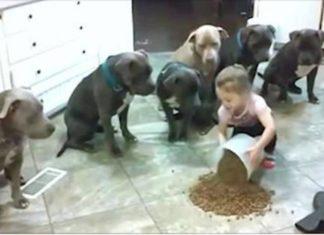 Cette petite fille nourrit une meute de pitbulls affamés, puis regardez bien ce que font les chiens!