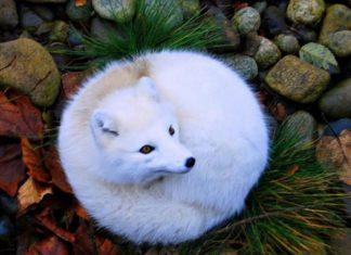 Voici les 7 plus belles espèces de renards au monde. │ MiniBuzz