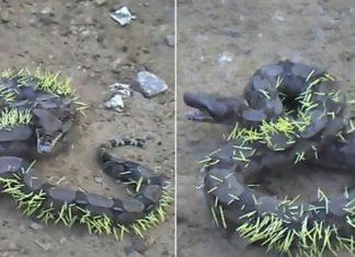 Un serpent tente de manger un porc-épic et ce qui lui arrive est affreux ! │ MiniBuzz