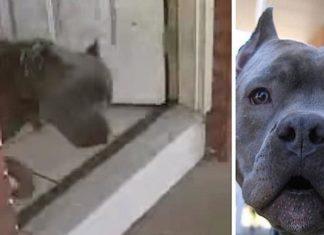 Une femme victime de violence conjugale est sauvée par un pitbull du voisinage │ MiniBuzz